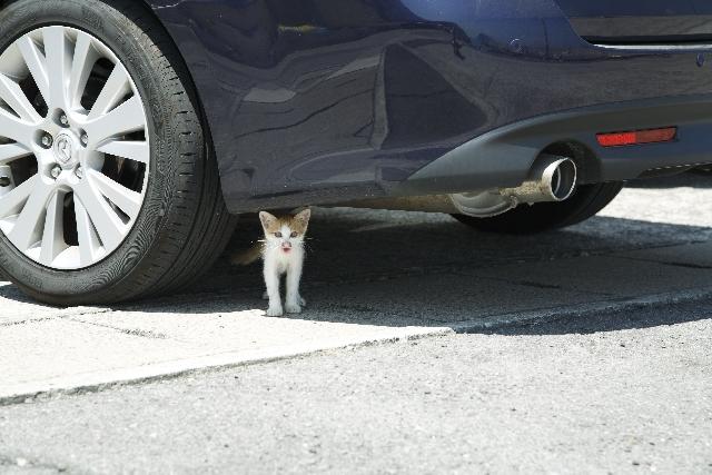 車の下に潜む子猫