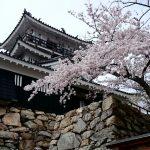桜咲く浜松城